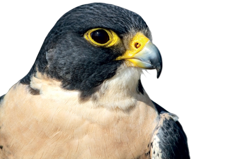 Falconry The Business Year